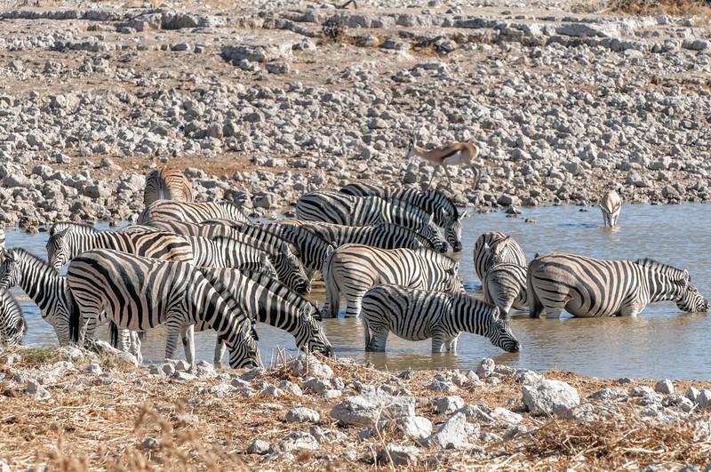 Zebras gab es zuhauf.