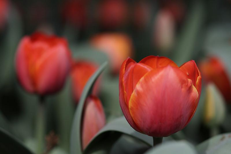 Tulips-2010 13.JPG