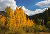 A yellow-orange stand of aspens in fall