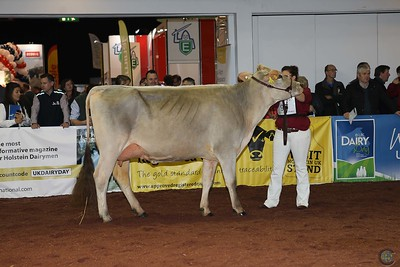 UKDairyDay18 Brown Swiss