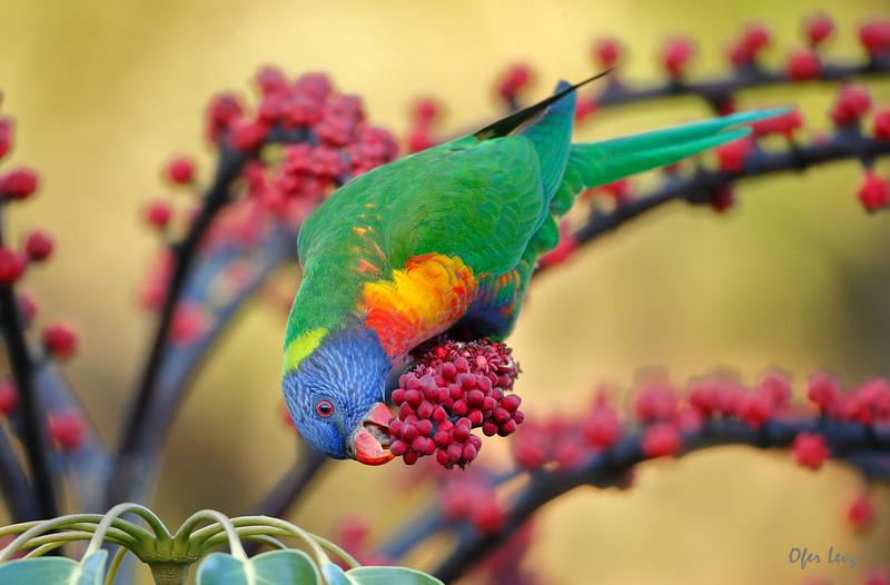 Rainbow Lorikeet 2.jpg