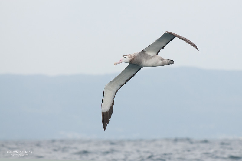 Wandering Albatross, Wollongong Pelagic, NSW, Oct 2009.jpg