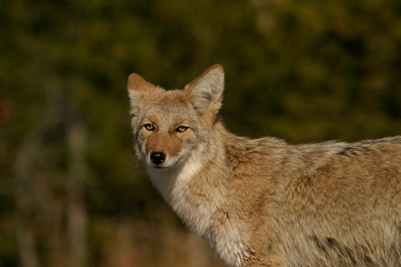 Coyotes must steer clear of Timber Wolves; Packs will kill any Coyotes they can [October; Yellowstone National Park, Wyoming]