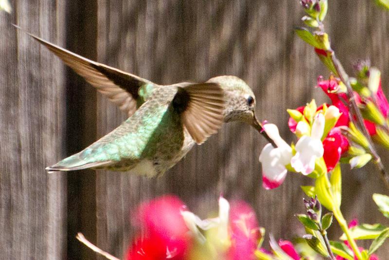 Backyard_Birds-Mar2012-42.jpg