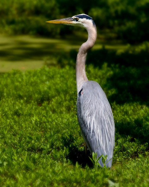 This Great Blue Heron was amazingly patient as he waited for an inattentive frog, bug or fish.  Unfortunately, he had to move on to greener pastures.