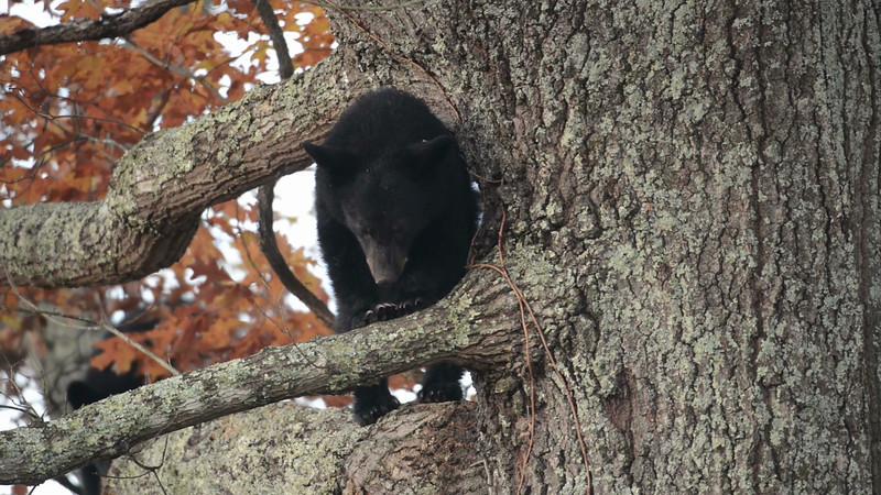 black_bear_tree_02.mov