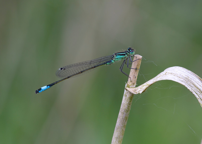 Blue tailed damselfly (male)