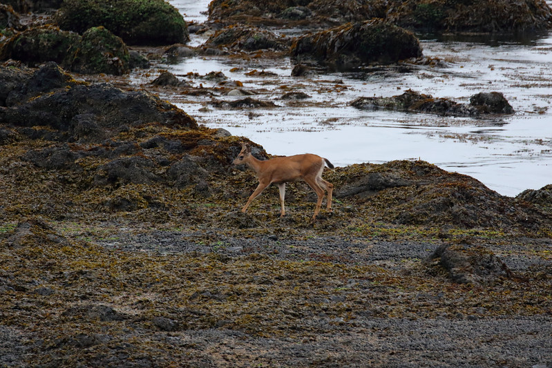 Blacktail Buck at Low Tide.jpg