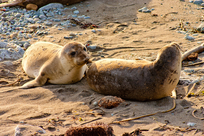 Elephant Seal Pups in Northern California