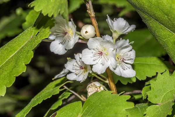 Mountain ribbonwood - Hoheria glabrata