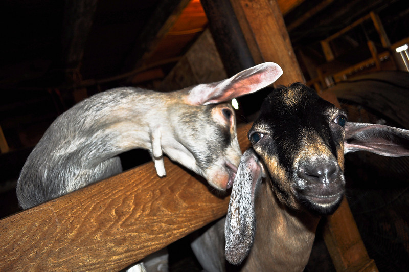 "Two hilarious goats mug and ham it up while we visit them during diner time at Beekman Farm, location of the ""Fabulous Beekman Boys"".  Toby is Nubian goat due to his floppy ears.  He loved a good nose rub when Shane wasn't muchhing him."