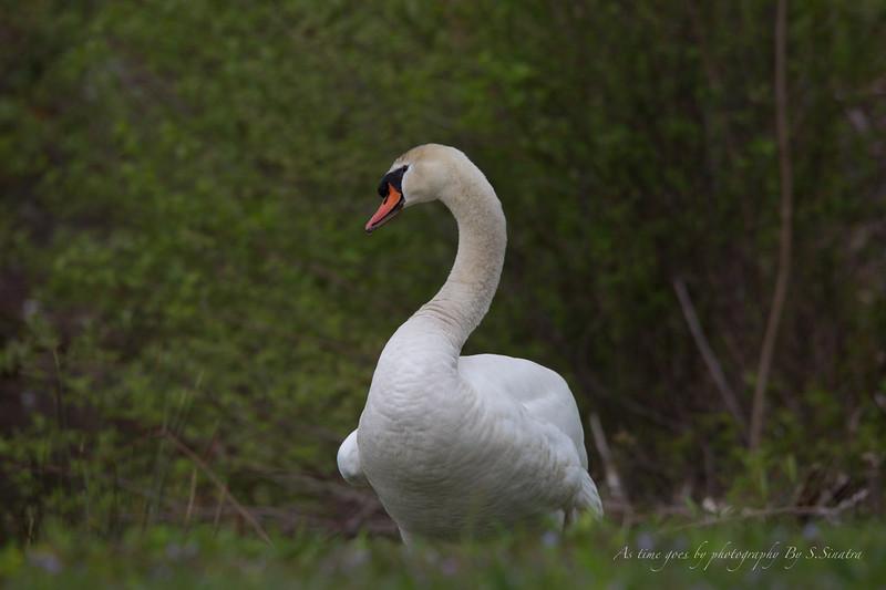 mute swan signed-22.JPG
