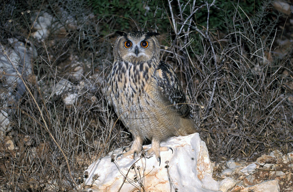 Eurasian Eagle-Owl (Bubo bubo) אוח