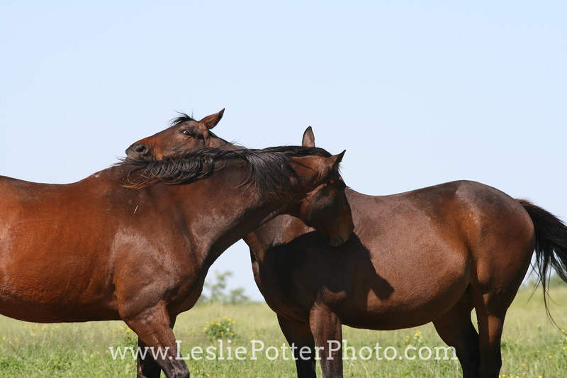 Thoroughbred Horses Mutual Grooming