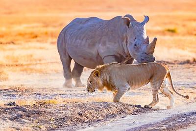 Lions - Kenya  2019