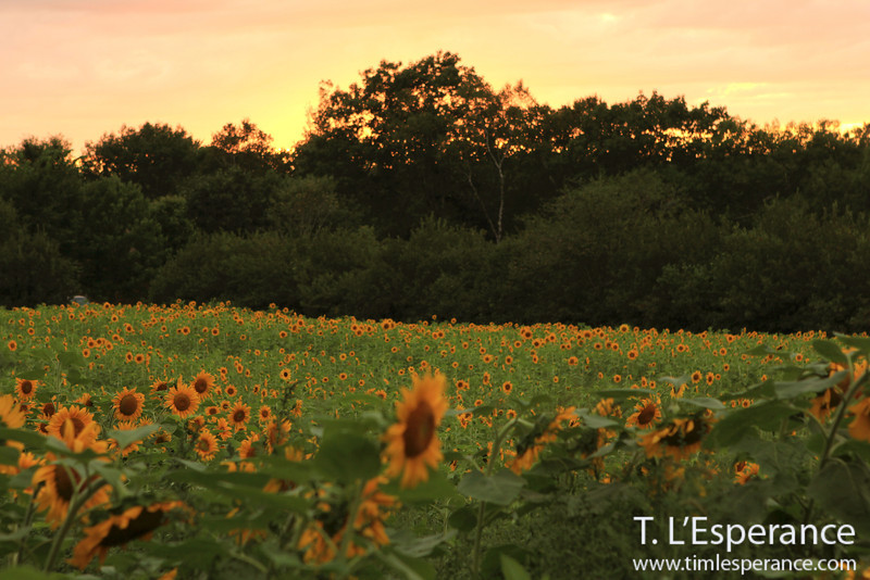 Sunflower field at sunset near the Mirimichi River, Doaktown, NB.