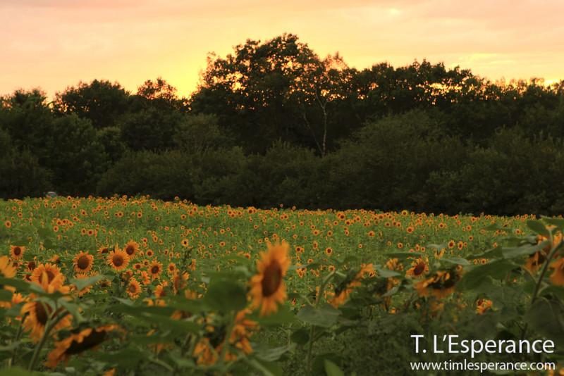 Sunflower field at sunset near the Mirimichi River, Doaktown, NB.