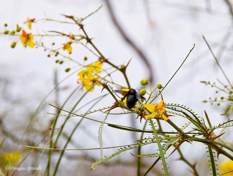 Black Bee & Yellow Flowers on Floreana Island