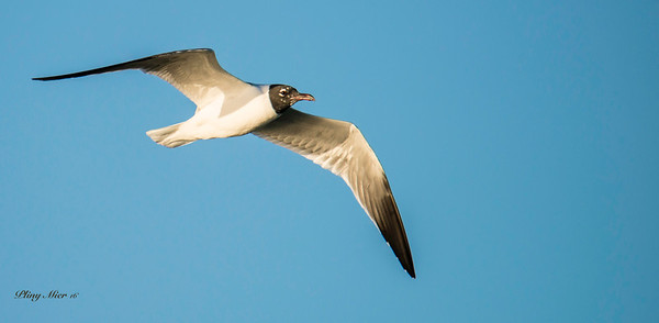 Laughing Gull_DWL5185.jpg