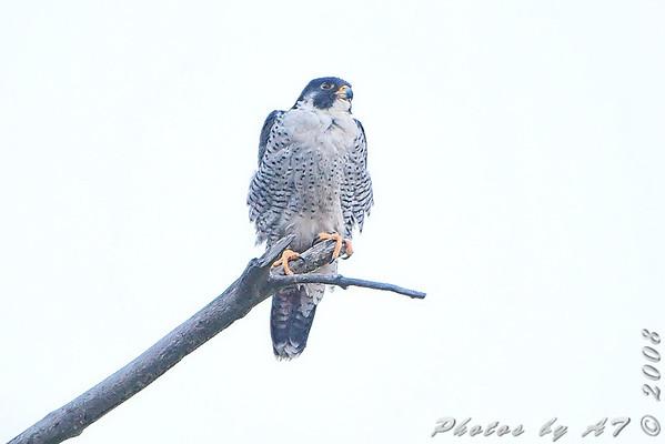 2008-11-23 Riverlands Migratory Bird Sanctuary