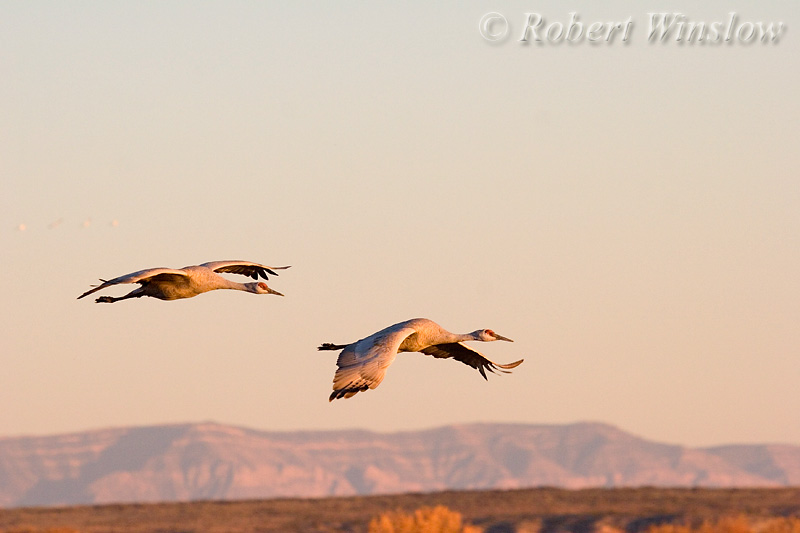 Sandhill Cranes, Grus canadensis, Bosque del Apache National Wildlife Refuge, New Mexico, USA, North America