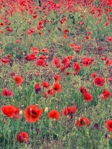 brindisi poppies.jpg