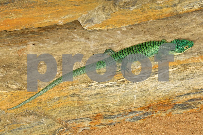Blue Mexican Alligator Lizard