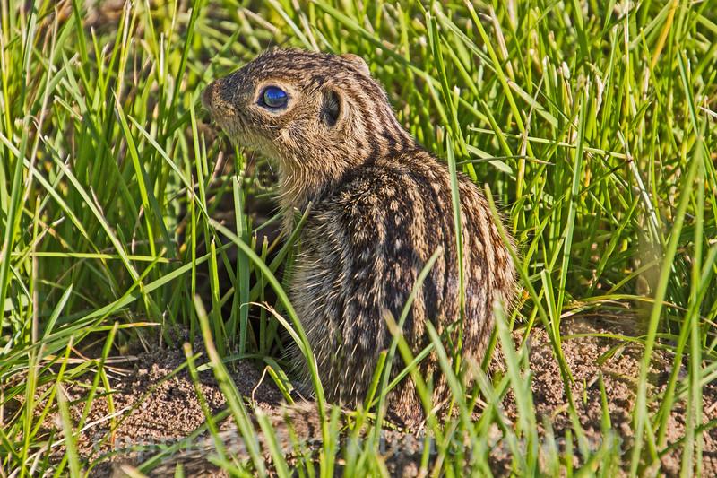 Thirteen-striped Ground Squirrel