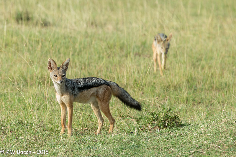 Black-backed Jackal.jpg