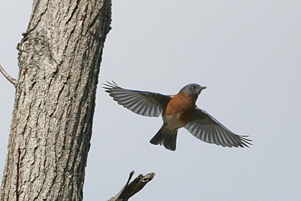 Eastern Bluebird males Gallery 2