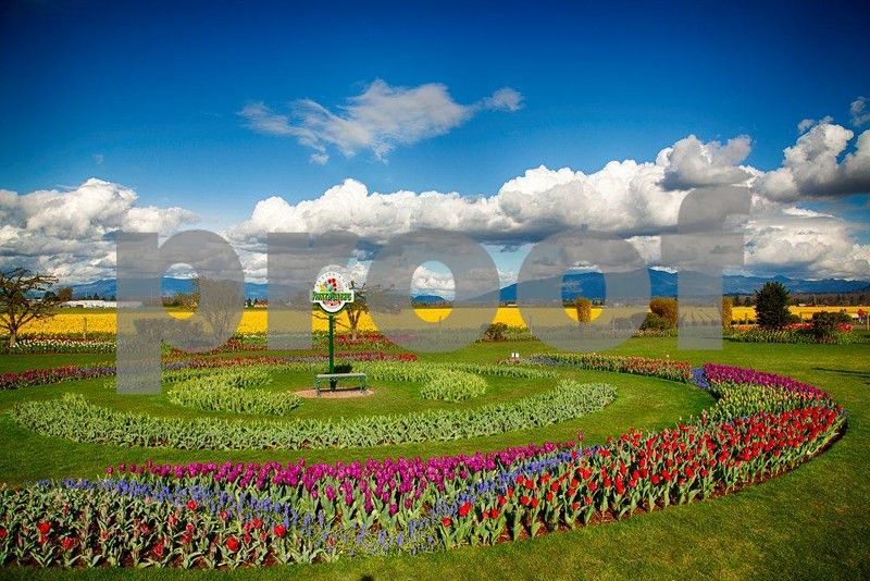 Tulips, Skagit 3955_HDR.jpg