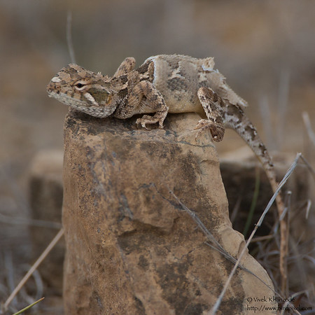 Short-tailed Agama