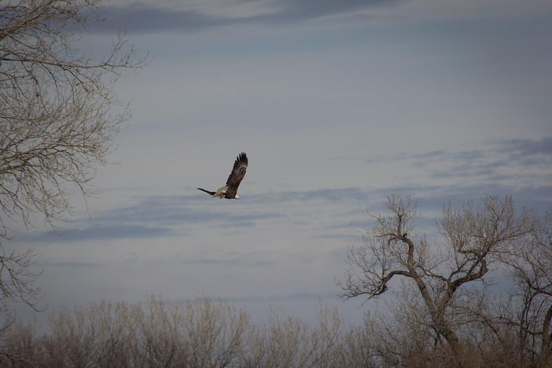 Eagle fly-7251.jpg