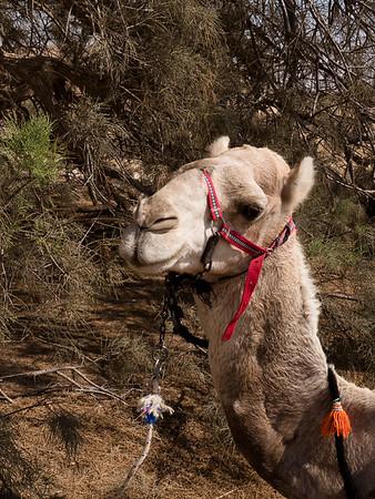 2018 camels