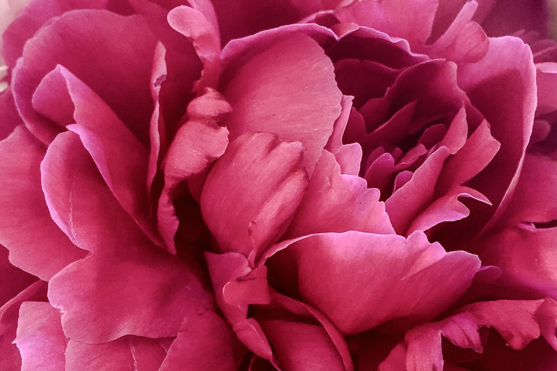 IMG_5709 Hot pink Peony-Edit.jpg