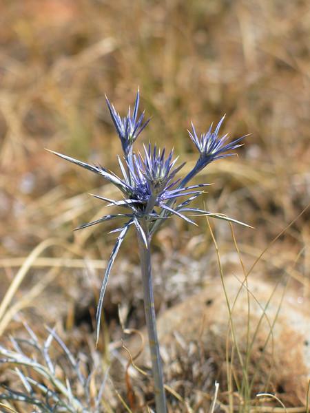 Eryngium ovinum / Blue Devil