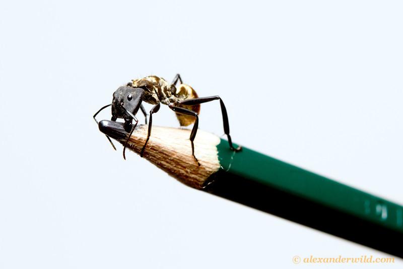Camponotus sericeiventris