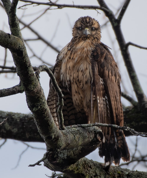 Great Black Hawk stare!