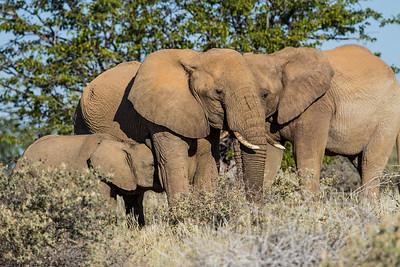 Namibia Mammals 4: Elephants