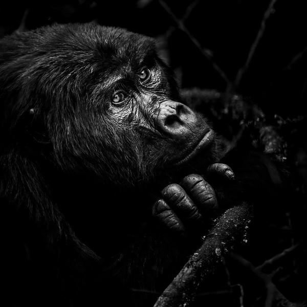 Mountain gorilla (Rwanda and Uganda)