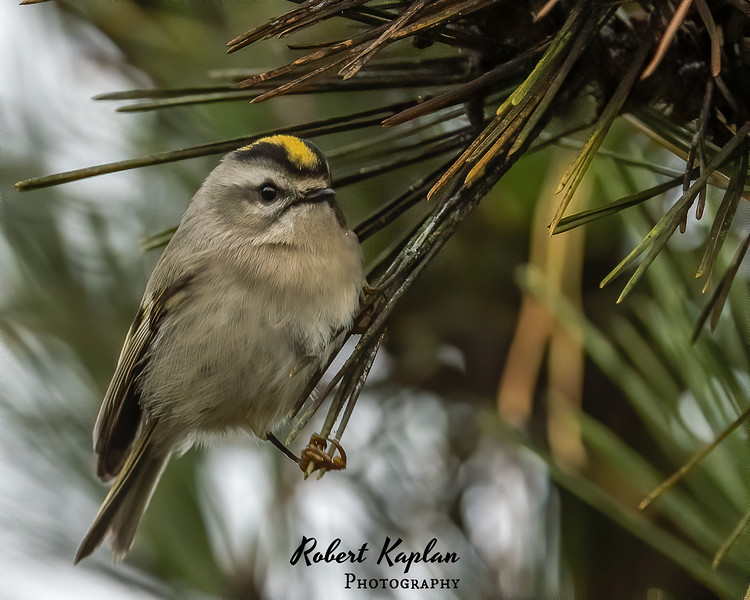 Golden Crown Kinglet DeNoised--2.jpg