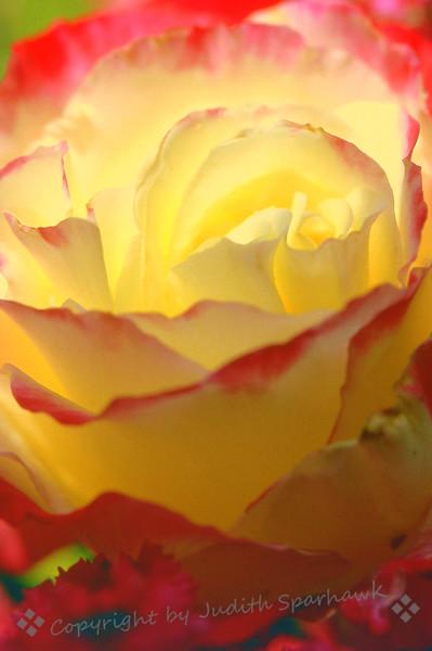 Roseglow