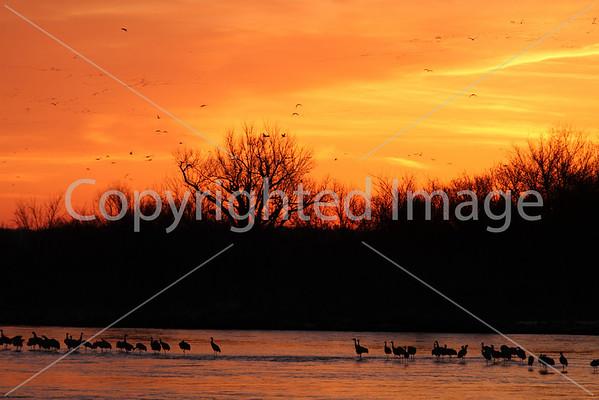 Sandhill Cranes in Grand Island Nebraska