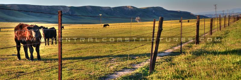 pano-cows_6784.jpg