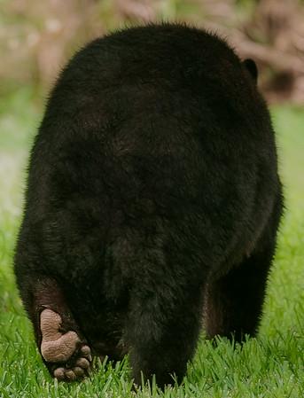 Black Bear-Backyard