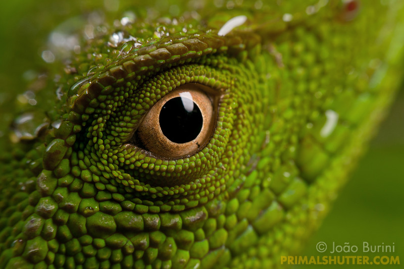 Eye of an Enyalius lizard