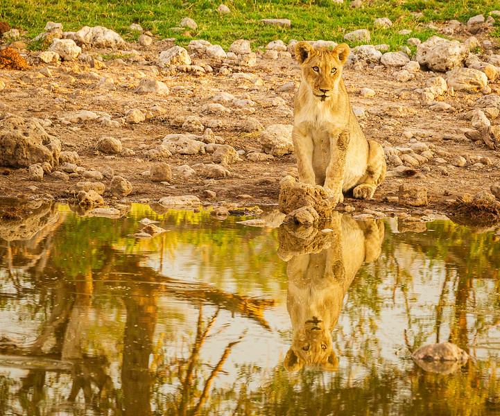 Lion family at Groot Okevi 3