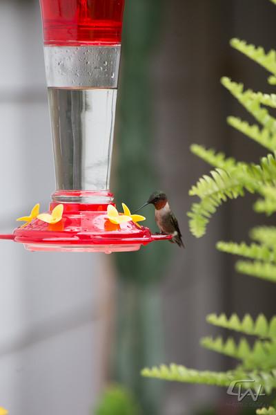 Hummingbird-1948.jpg