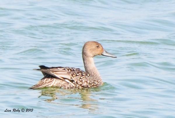 Female Northern Pintail - 10/12/13 - Whelan Lake