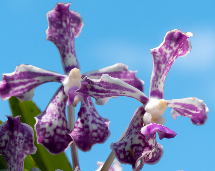 purple vanda blue sky